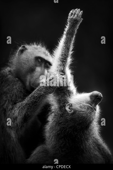 Baboons grooming (Artistic processing) - Stock-Bilder