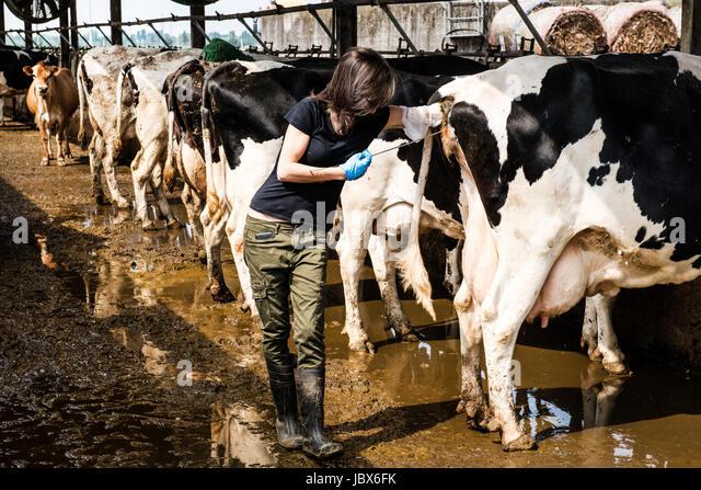 Female organic farmer taking temperature from cow's backside at dairy farm - Stock-Bilder