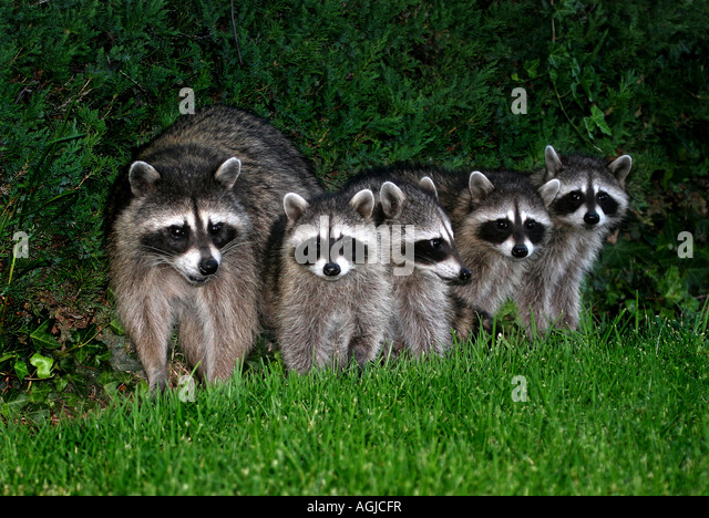 A mother raccoon and her 4 cubs - Stock Image