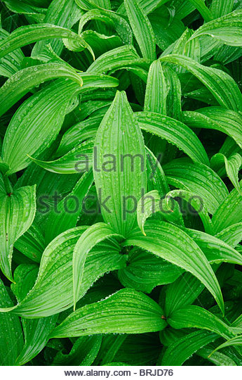 Corn Lily or California False Hellebore (Veratrum californicum) at Paradise area, Mount Rainier National Park, Washington. - Stock-Bilder