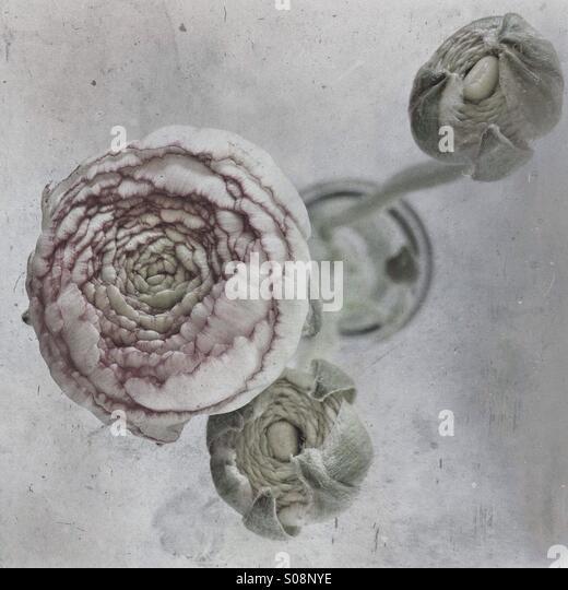 Ranunculus flower in vase - Stock Image