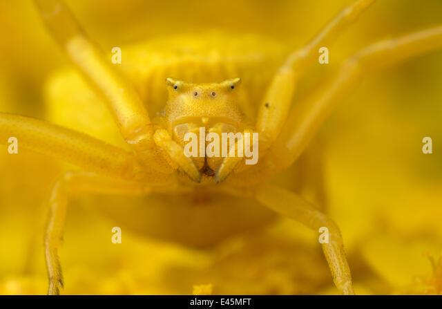 Crab spider (Thomisus onustus) yellow form, portrait, on yellow Yarrow (Achillea filipendulina) Stenje region, Galicica - Stock Image