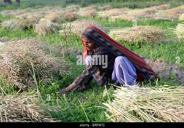 Peasant woman in a mustard filed with the harvest of mustard. Uttar Pradesh, India - Stock-Bilder
