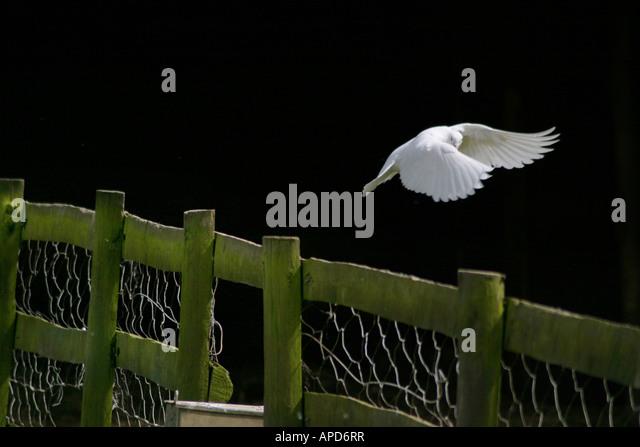 dove in flight - Stock Image
