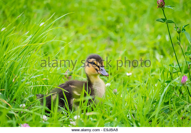 Young baby duck, ten day old duckling in the grass, La Creuse, Limousin, France - Stock-Bilder