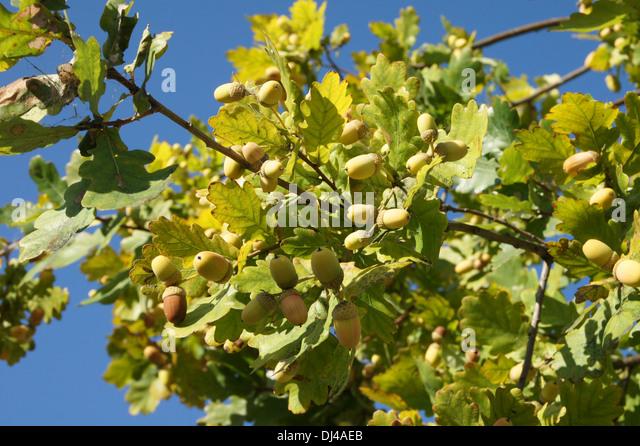 acorns deutsch