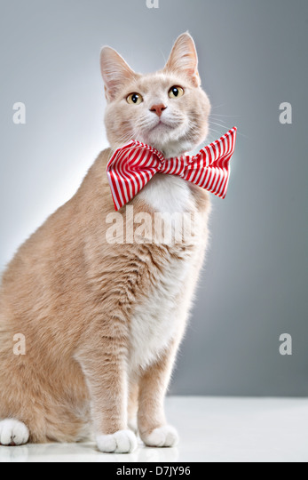 Portrait shot of cute cat posing and adorned in red strippy bowtie - Stock Image