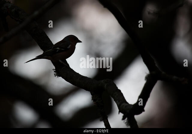 Chaffinch silhouette. London Royal Park - Stock Image