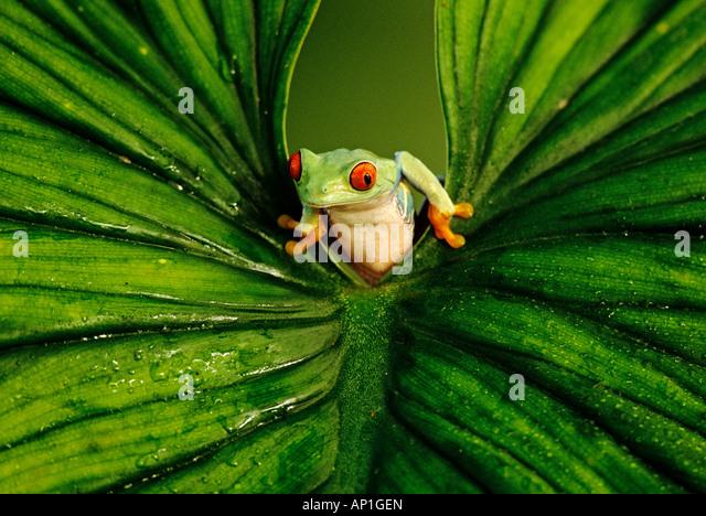 Red eyed Tree Frog peering through leaf captive - Stock-Bilder