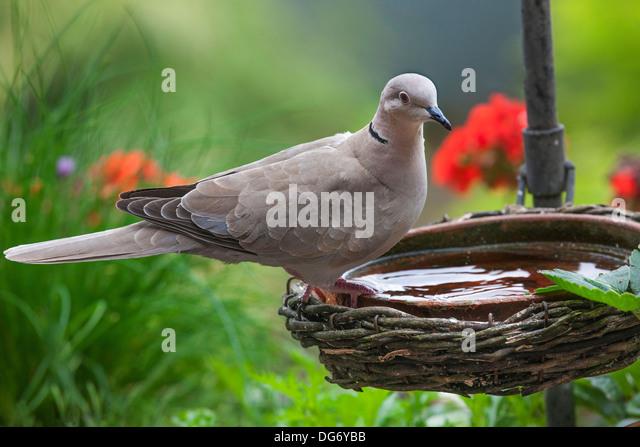 Eurasian Collared Dove (Streptopelia decaocto) drinking water from bird bath in garden - Stock Image