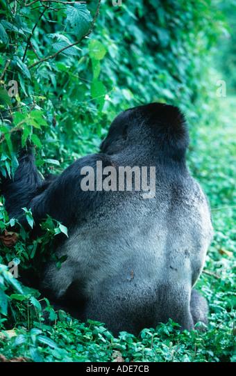 Mountain Gorilla Gorilla gorilla beringei Silverback showing silvery saddle Distribution Rwanda Uganda DRC P N des - Stock Image