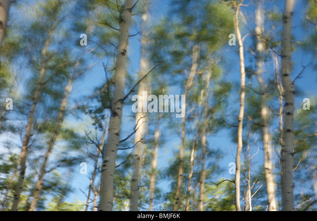 silver birches blowing in the wind, Jasper National Park, Alberta, Canada - Stock Image