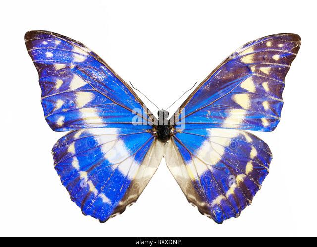 Morpho helena Butterfly - Stock Image