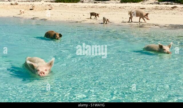 Lots of pigs on Pig Island in the Bahamas - Stock Image