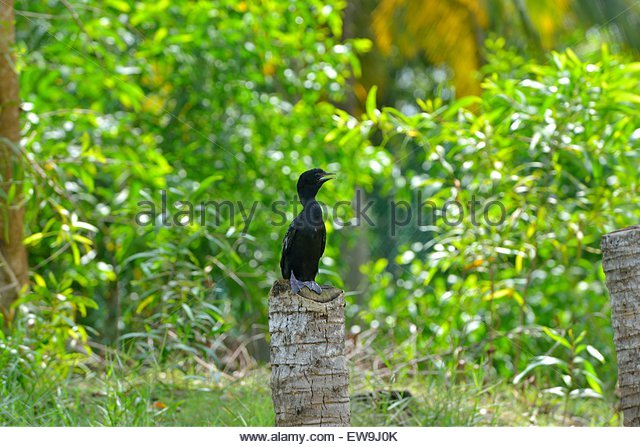 Indien, Kerala, Backwaters, Indian Cormorant, Bird - Stock-Bilder