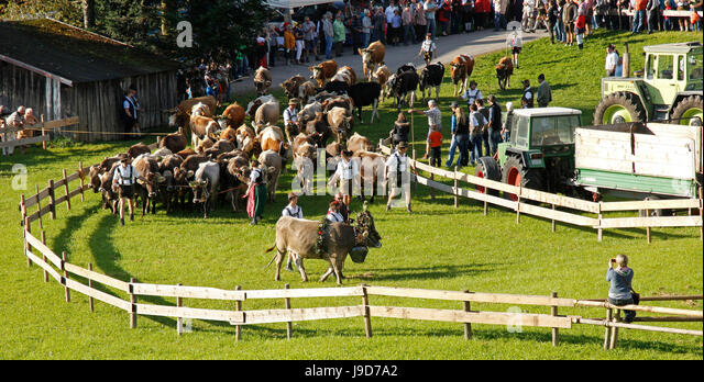 Viehscheid, Annual Driving down of the Cattle from the Summer Mountain Pastures to the Valley, Obermaiselstein, - Stock-Bilder