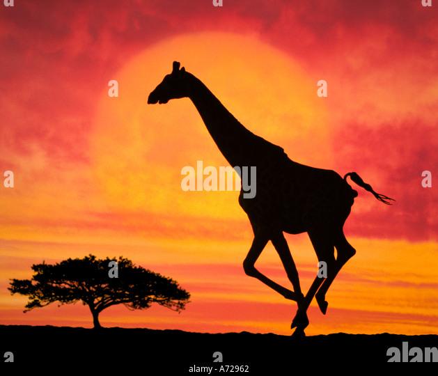 Giraffe Running in South Africa - Stock Image