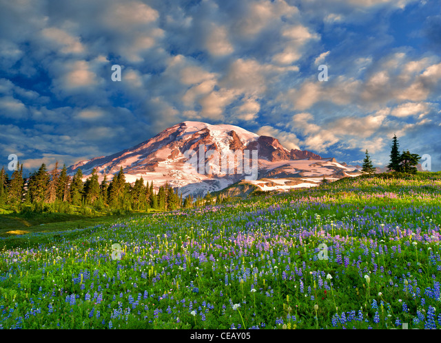 Wildflowers and Mt. Rainie. Mt. Rainier National Park, Washington Sky has beenm added - Stock Image