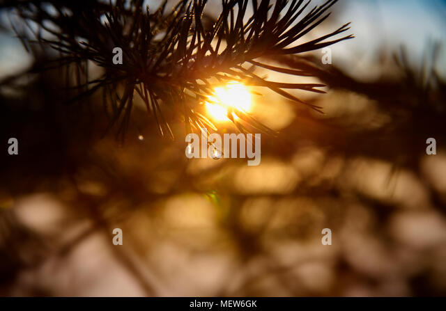 Frost covered dew drops are glittering on fir twigs on a winter morning. - Stock Image