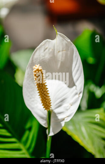 A single white peace lily blossom on display in a plant nursery. - Stock Image