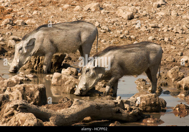 Two Common Warthogs (Phacochoerus africanus) drinking at a waterhole - Stock Image