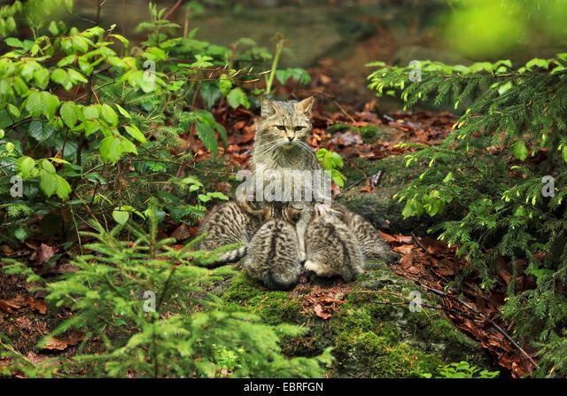 European wildcat, forest wildcat (Felis silvestris silvestris), cat sitting on the forest ground and suckling its - Stock-Bilder