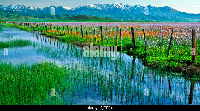 Camas Wildflowers in the spring with rustic wooden fence line.Snow Covered Smokey Mountains in background. Idaho, - Stock Image