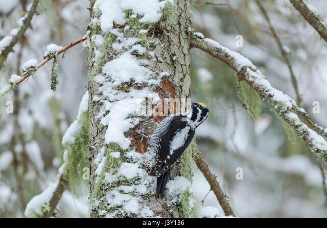 Eurasian three-toed woodpecker, Latin name Picoides tridactylus, in Ekopark Farna (Farna Nature Park) in central - Stock Image
