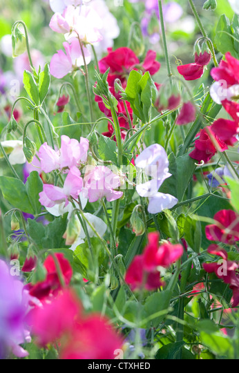 colourful sweet pea flowers in english garden - Stock Image
