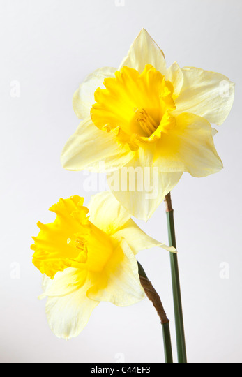 Close-up of two yellow daffodil heads against plain background. - Stock Image