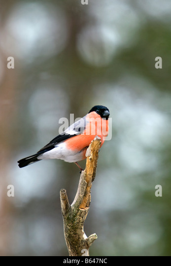 Finland, Ruhtinansalmi, near Suomussalmi, Wildlife Centre Martinselkonen Erakeskus. Bullfinch. Pyrrhula pyrrhula. - Stock-Bilder