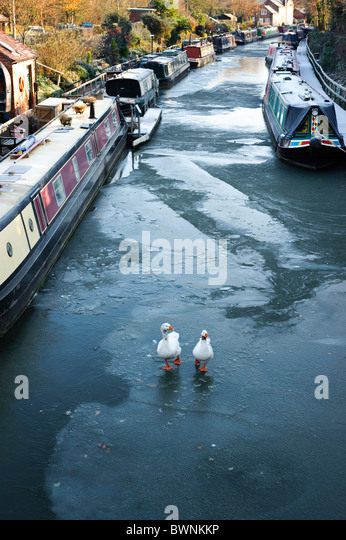 Two Geese walking on a frozen canal surrounded by canal boats, Grand Union Canal, Warwick, Warwickshire, UK - Stock Image