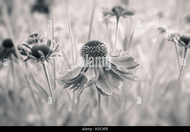 Flowers in garden with selective focus in black and white. Tranquil and romantic summer nature scene. - Stock-Bilder