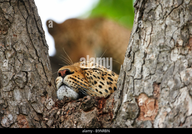 leopards resting in a tree, Kruger National Park, South Africa - Stock-Bilder