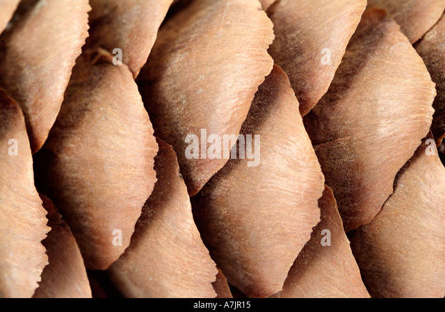 Pine Cone Close Up - Stock-Bilder