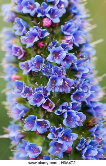 blue foxgloves flower - Stock Image