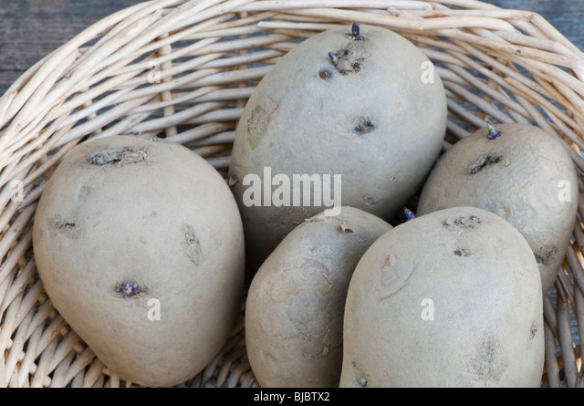International Kidney seed potatoes, early main crop , also marketed as Jersey Royal, in a basket - Stock-Bilder
