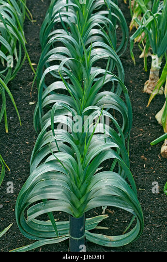 Row of Blanch Leeks 'Steve's selected' - Stock Image