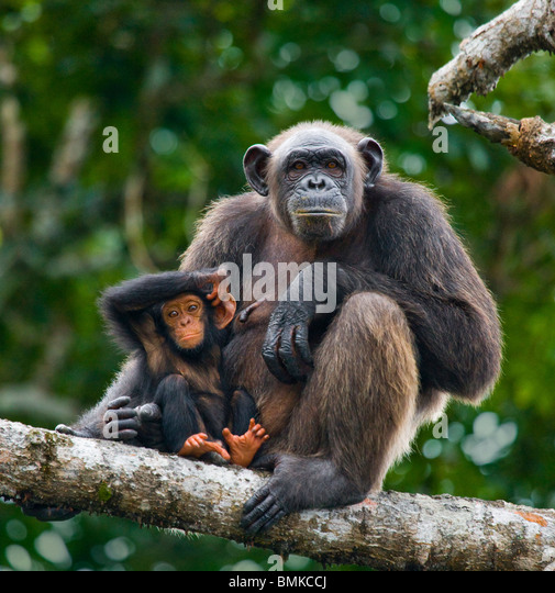 Chimpanzee female with baby, Conkouati-Douli National Park, Republic of Congo. - Stock-Bilder