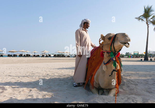 Abu Dhabi, United Arab Emirates. Camels on beach. - Stock Image