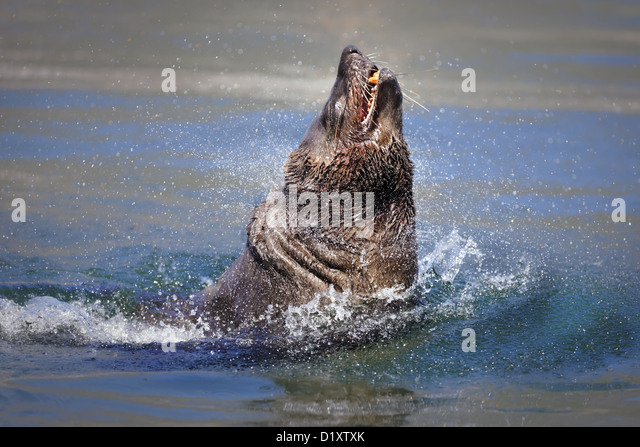 Brown (Cape) Fur Seal bursting out of the water (Arctocephalus pusillus) - Stock Image