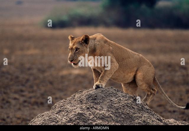 Lion (Panthera leo) on termite mound, Queen Elizabeth National Park, Uganda, East Africa, Africa - Stock-Bilder