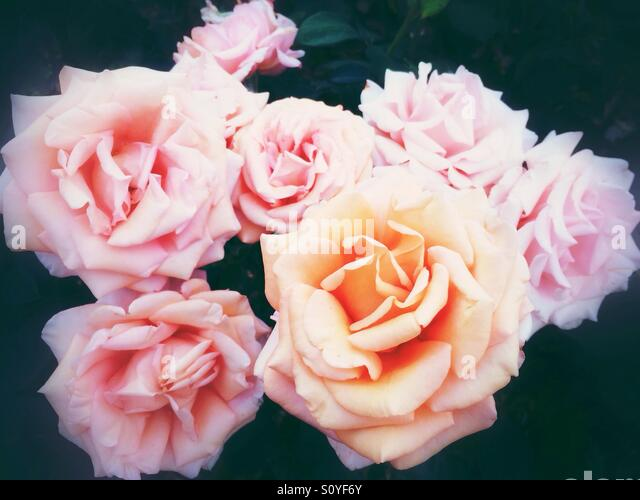 Orange rose flowers - Stock Image