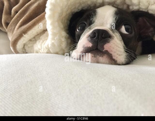Henry the baby Boston Terrier - Stock-Bilder