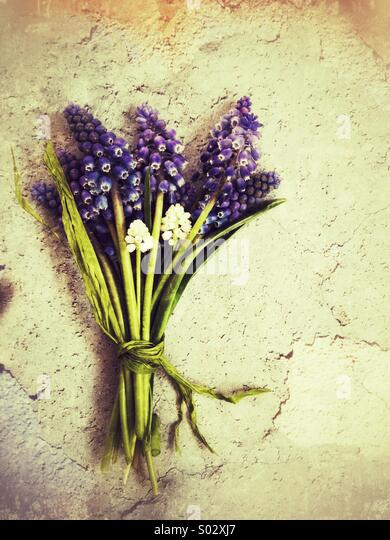 Muscari posy on stone - Stock Image