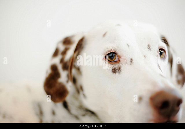 A liver spotted dalmatian looks into the camera lens. - Stock Image