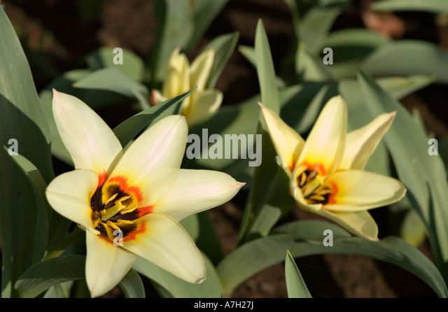 White yellow tulip - Liliaceae Tulipa fosteriana Zombie, Keukenhof gardens, Lisse, Holland - Stock Image