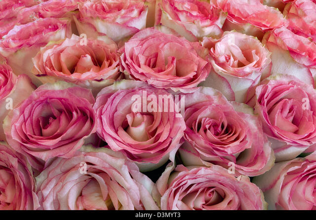 Close up of roses. - Stock Image