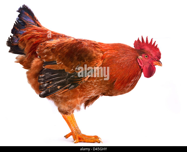 Red rooster farm bird shot in studio on white - Stock Image