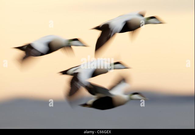 Common Eider (Somateria mollissima). Four drakes in flight. - Stock Image